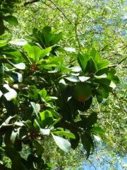 Fruta de lucuma – harina de lucuma-lucuma en polvo