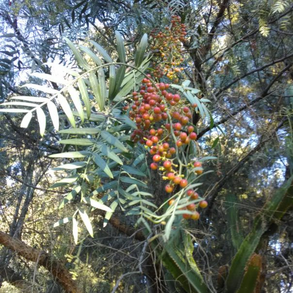 Fruto de molle-aceite esencial de molle-pink pepper corn