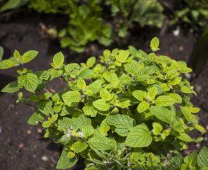Muna-muna andean mint-aceite esencial de muna